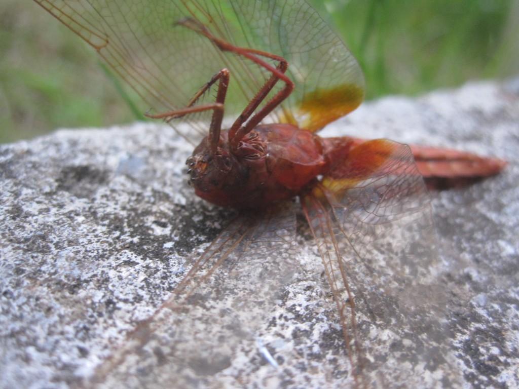 地面に墜ちてアリに食われたトンボの死骸