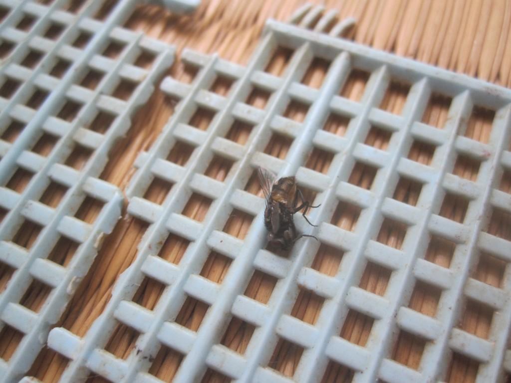 古参の蠅叩きに捕殺されたハエの死骸