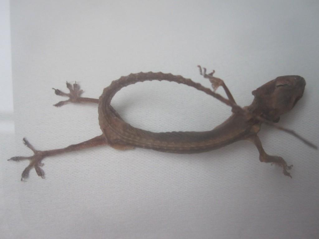 餓死して干からびたヤモリの死骸