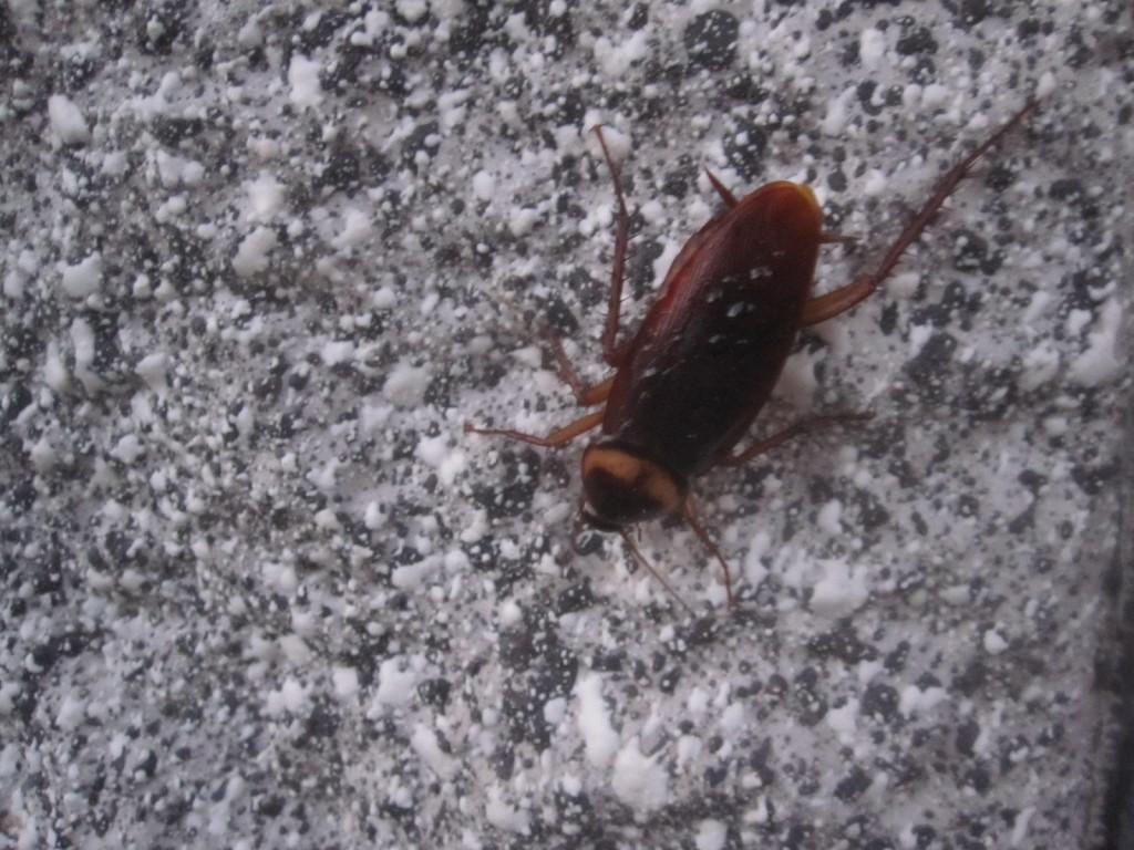 肌寒い11月なのに野外でワモンゴキブリが徘徊