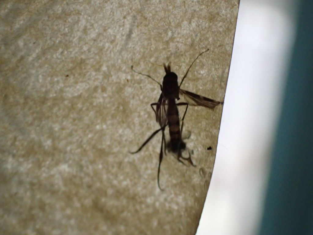 蝿取り紙に引っ付いて死んだ蚊
