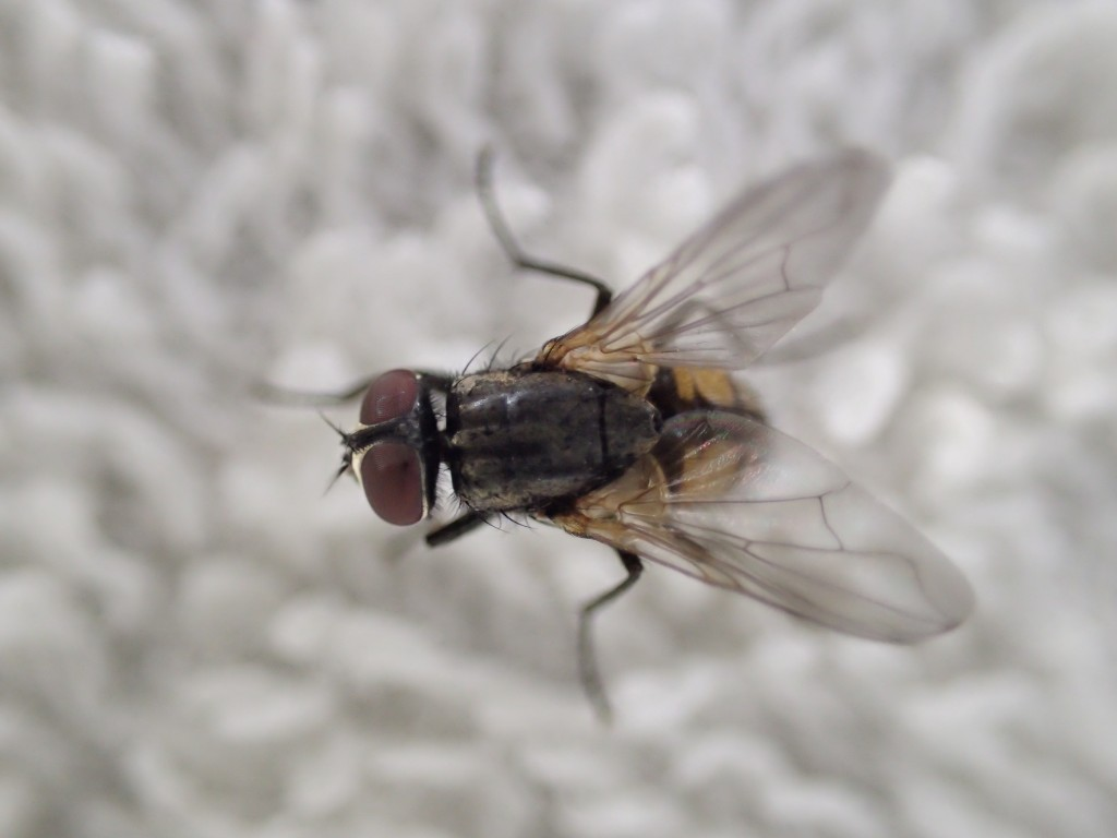 衛生害虫・不快害虫のクロバエ