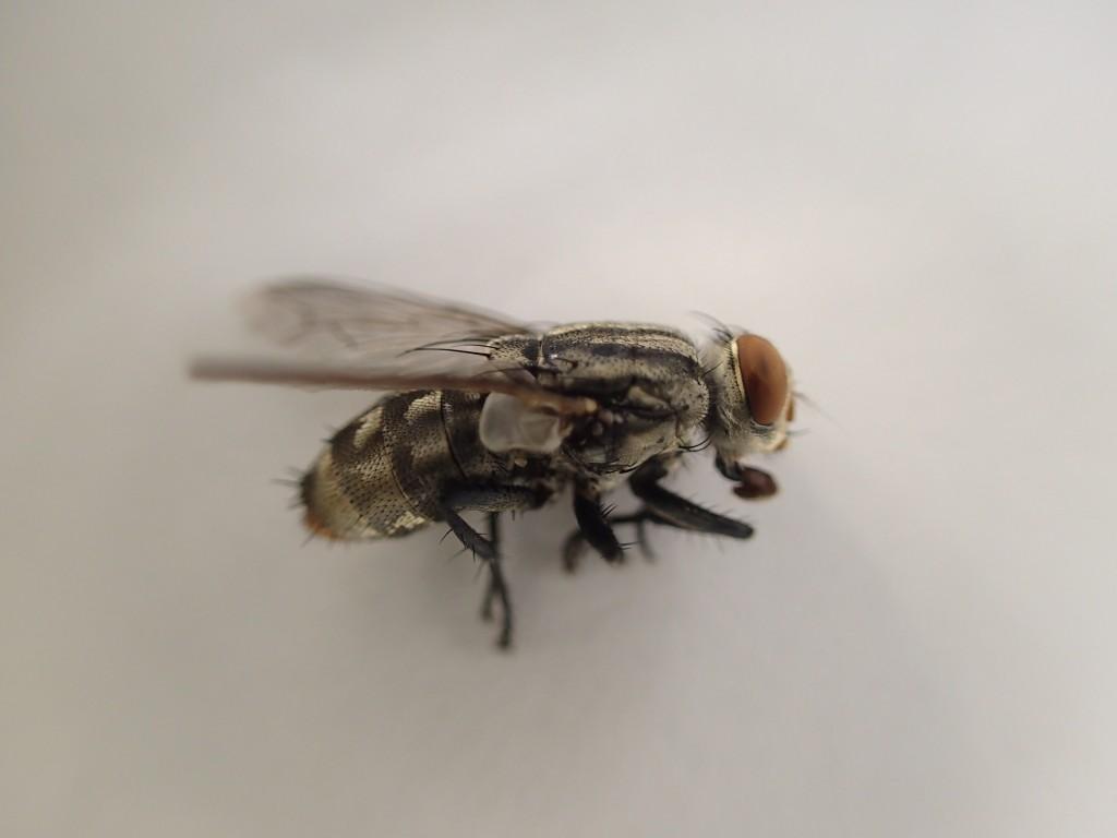 衛生害虫のセンチニクバエは縞模様のデカイ蝿