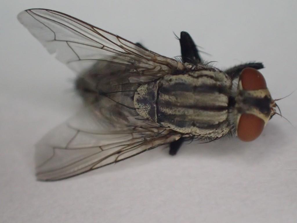背中と腹部の縞々が特徴のセンチニクバエ