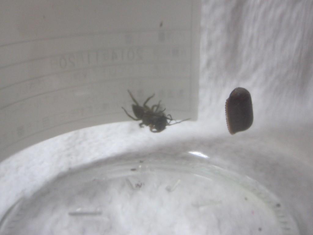 益虫ハエトリグモが害虫のクロバエを捕獲するシーン