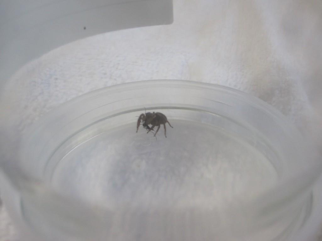 血を吸ったヒトスジシマカ[蚊]と捕まえたハエトリグモ