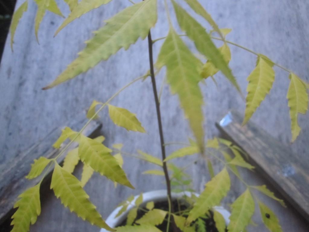 植え替えて数週間でミラクルニームの葉が黄色く変色した