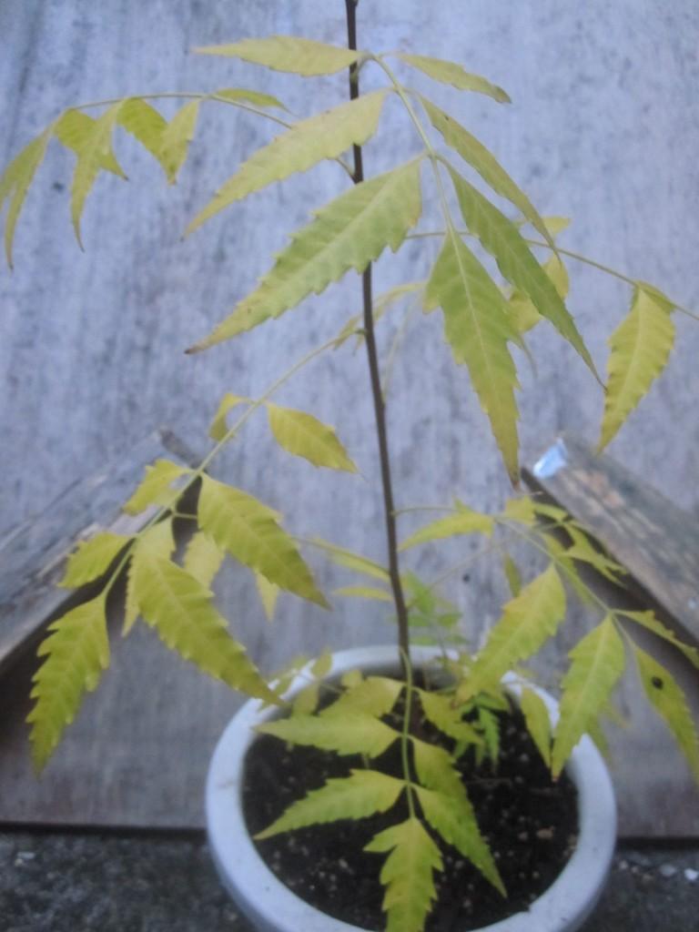 虫除け・除虫用に購入したミラクルニームの葉が緑色から黄色に変化
