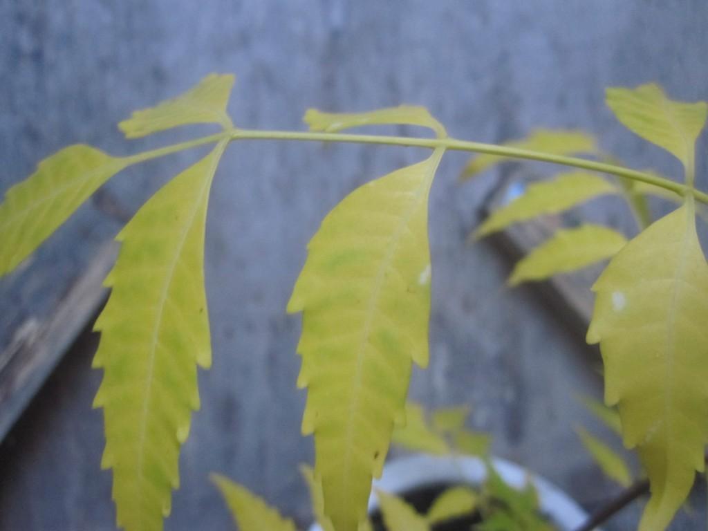 ゴキブリ避けを期待したニームの木の葉が黄色くなった