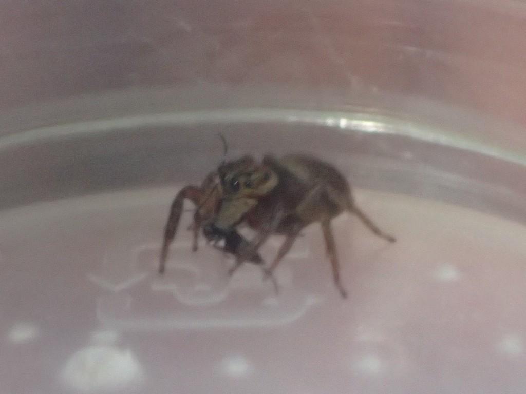食べなれない獲物(蚊)と味(人間の血)に戸惑う!?ハエトリグモ