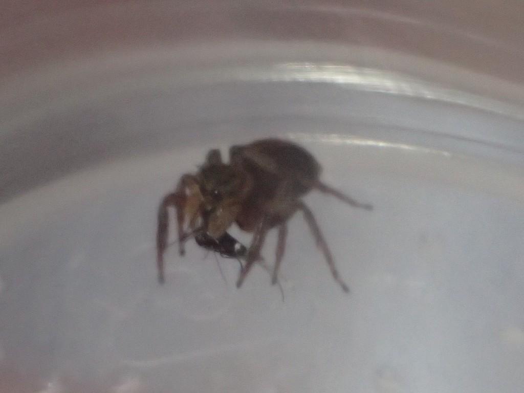 捕まえた蚊が大人しくなるまでジッとして動かないハエトリグモ