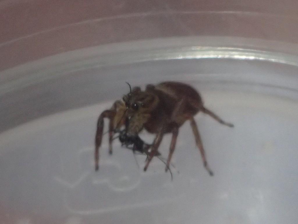 益虫ハエトリグモが害虫 蚊を捕獲した決定的瞬間
