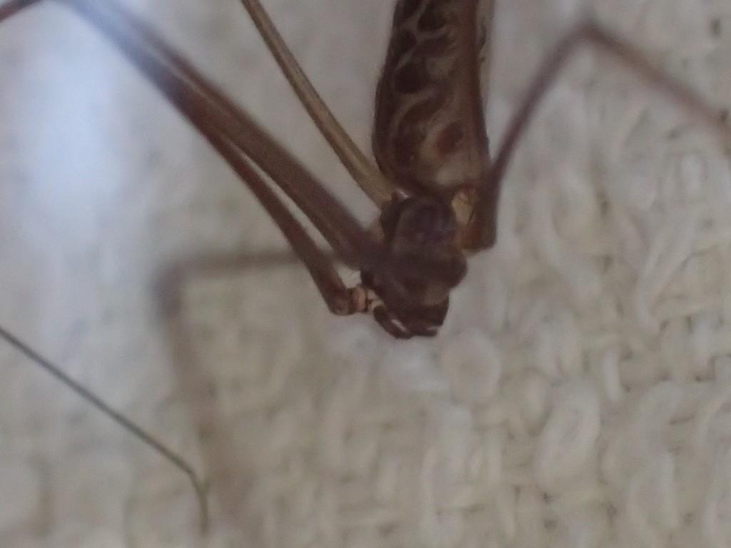 家屋内よりも屋外でよく見かける種類の蜘蛛である