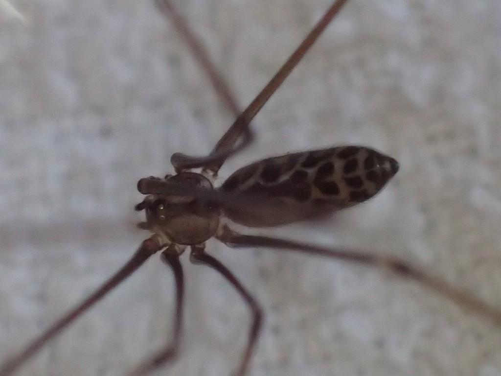 北海道を除く地域の人家で見かける種の蜘蛛