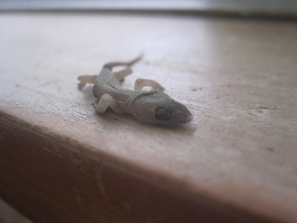 ヤモリの遺体は放置すると腐敗が進んで異臭を放つので処分を検討する