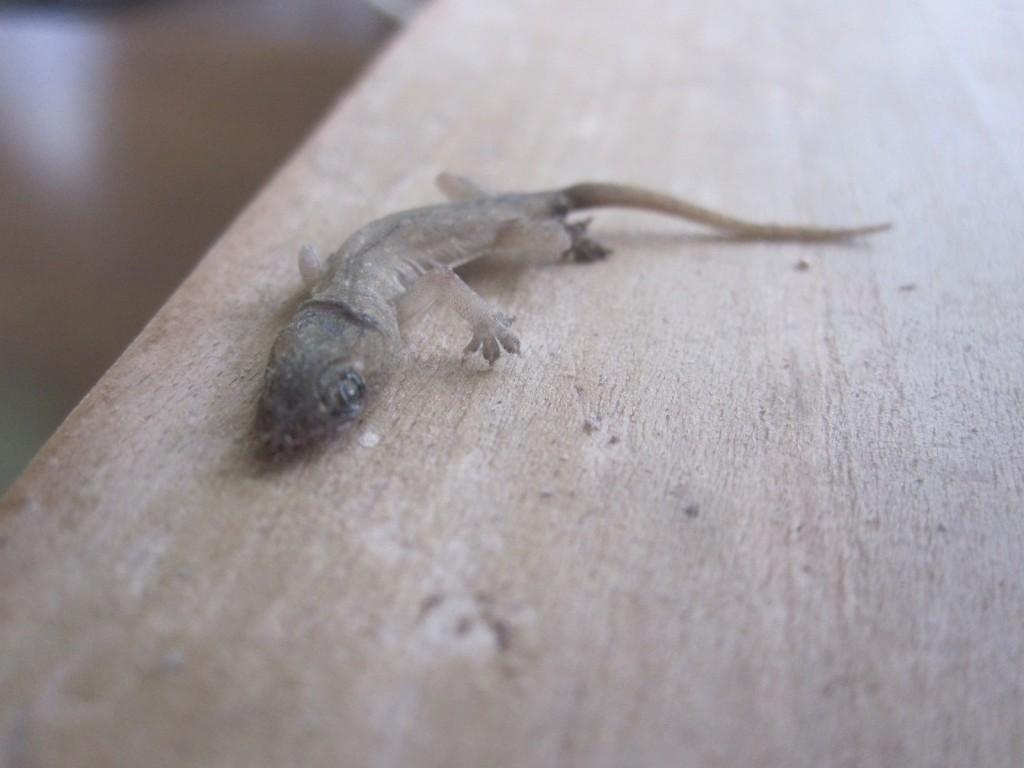 普段は蚊など小さい虫を食べてくれる有り難い存在のヤモリ