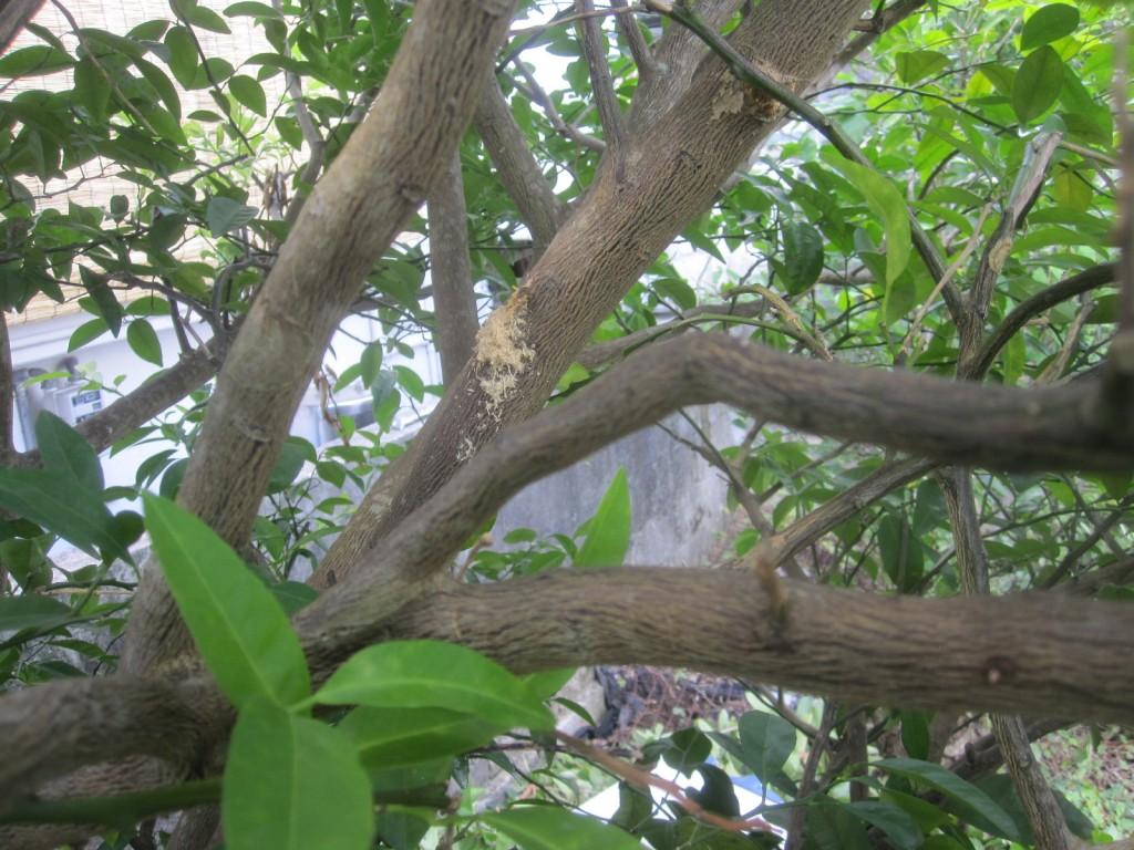 頭上の果樹の枝に白っぽい箇所を発見