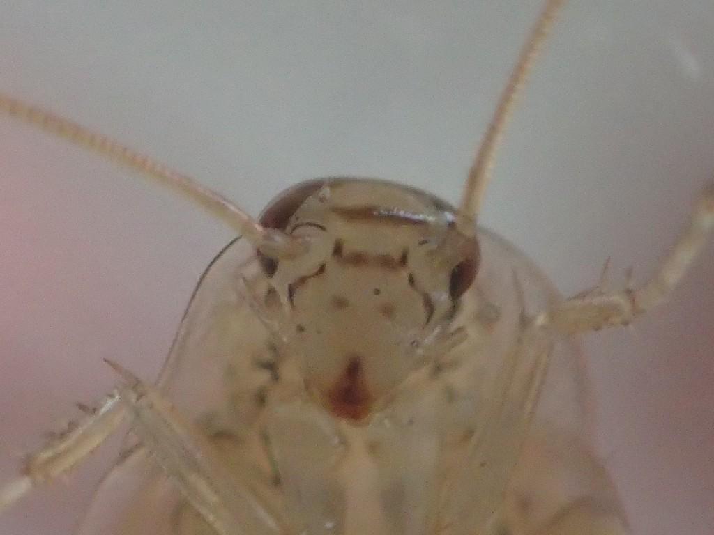 最大ズーム(顕微鏡モード)で撮影したゴキブリの顔