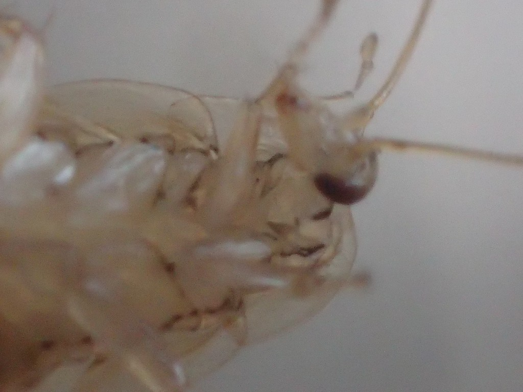 手(脚?)を口で掃除するゴキブリ
