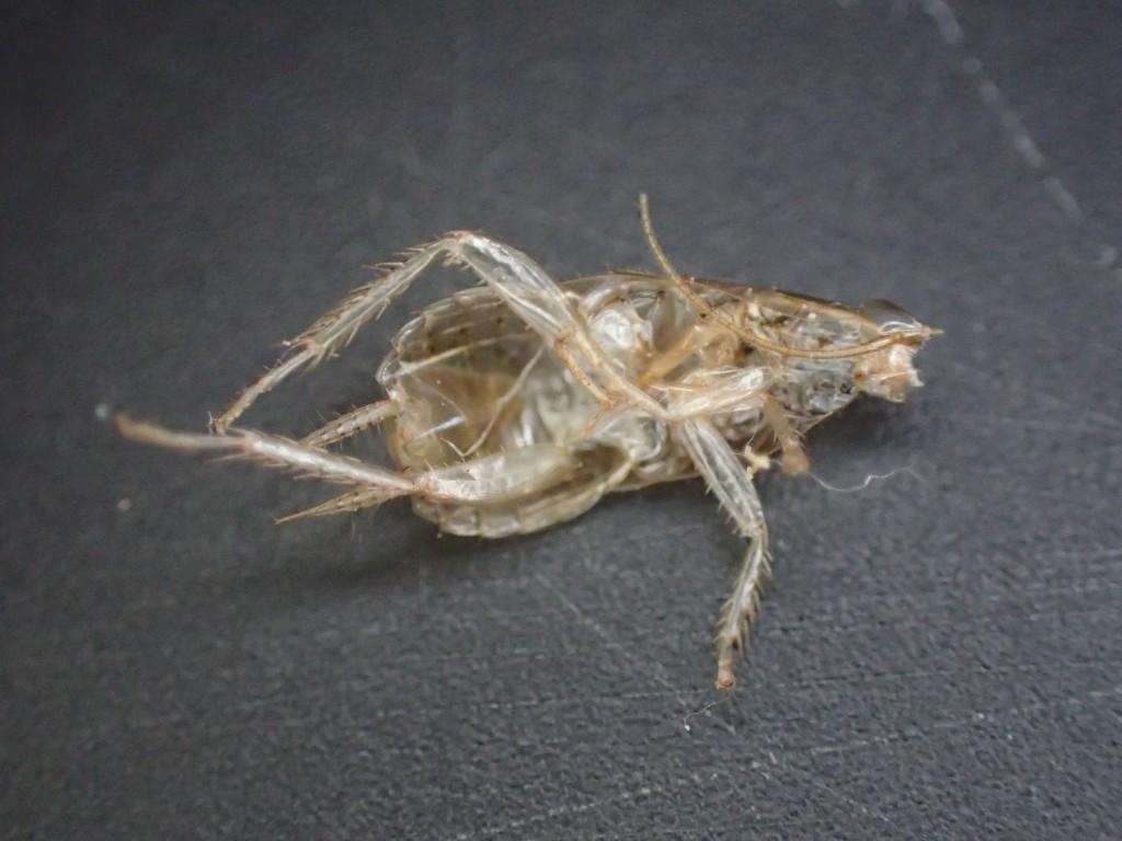 ゴキブリ生息・繁殖の痕跡となる脱皮した殻