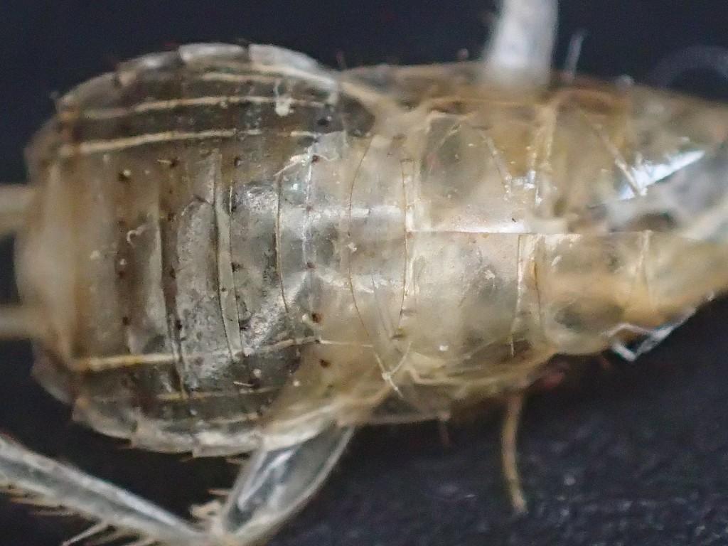 ゴキブリ恐怖症・ゴキブリアレルギーの原因の一つ