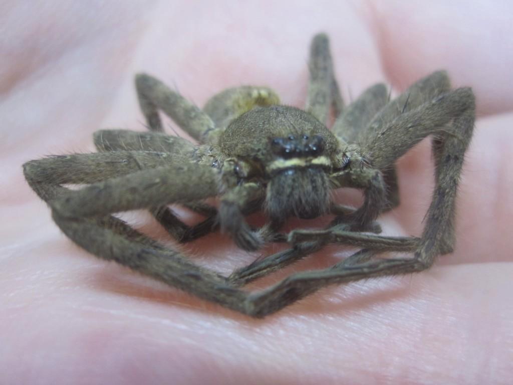 アシダカグモの鋭く大きな牙と対象的なつぶらな瞳が特徴の顔