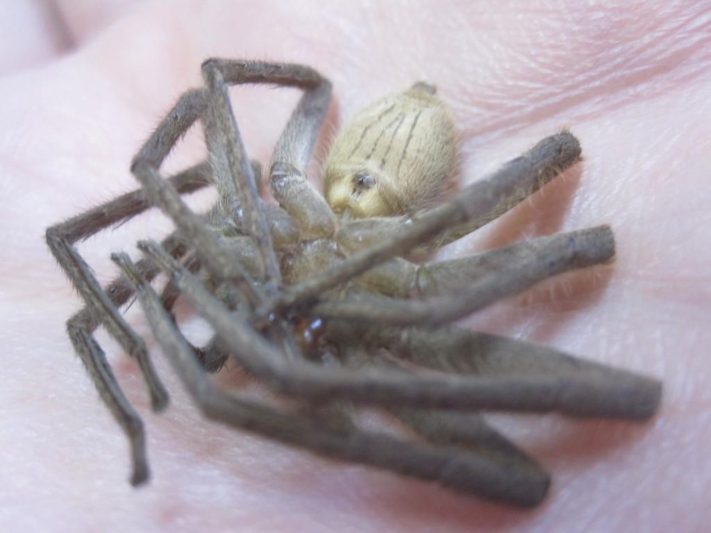 仰向けになったアシダカグモのお腹の写真・画像