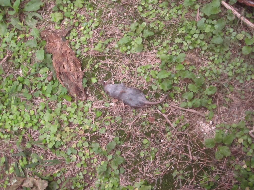 ハエが飛ぶ真下で灰色の物体が地面に横たわっている