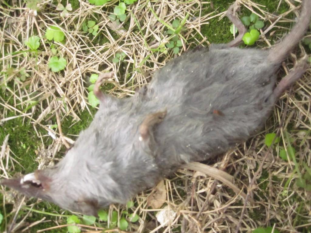 土の上に仰向けに横たわる野ねずみの死骸