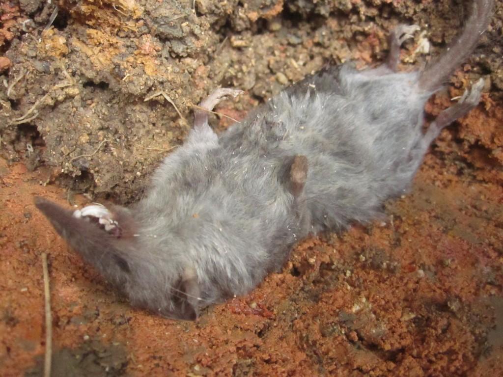 冷たくなった野ネズミの遺体を穴の底にそっと移して両手を合わせる