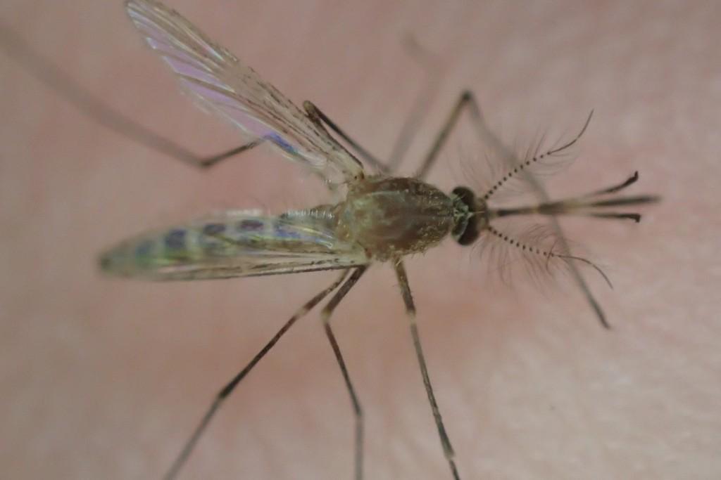 Aedes (Stegomyia) albopictus