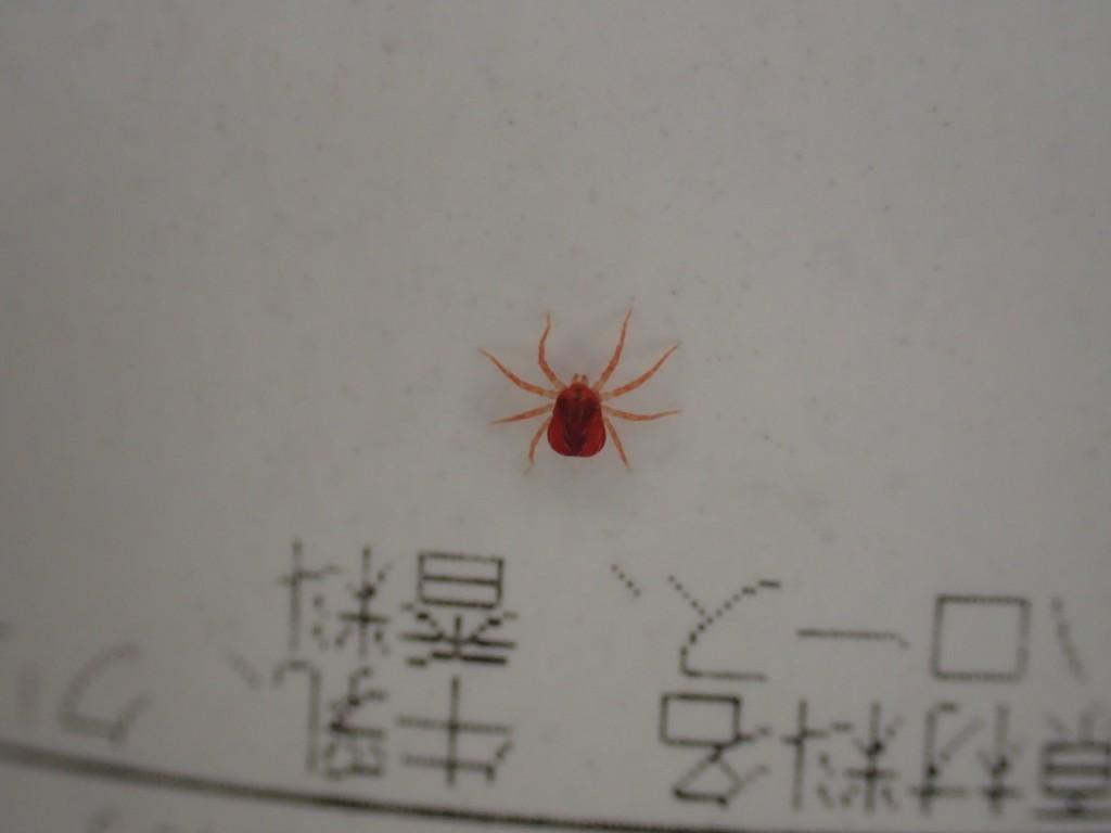 庭でよく見かける小さな赤い生き物タカラダニ