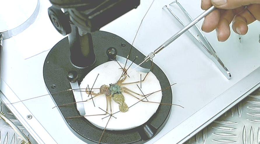 博士とクモ学者は島で捕獲したクモを解剖し変異を発見する