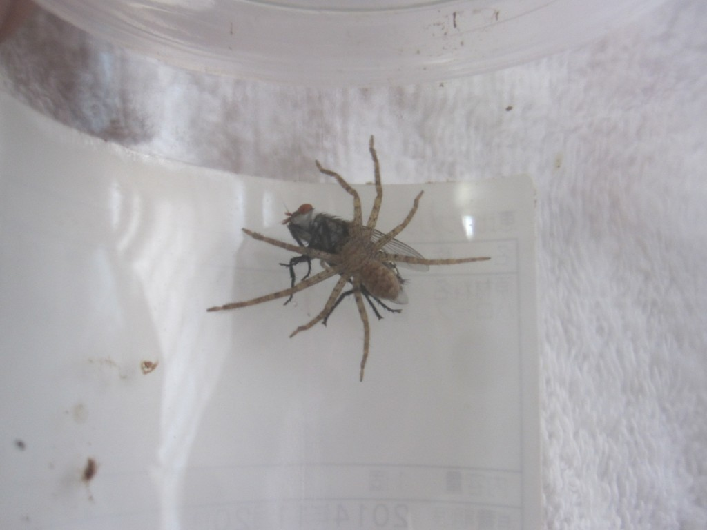 アシダカグモが同サイズのハエも捕獲することが証明された