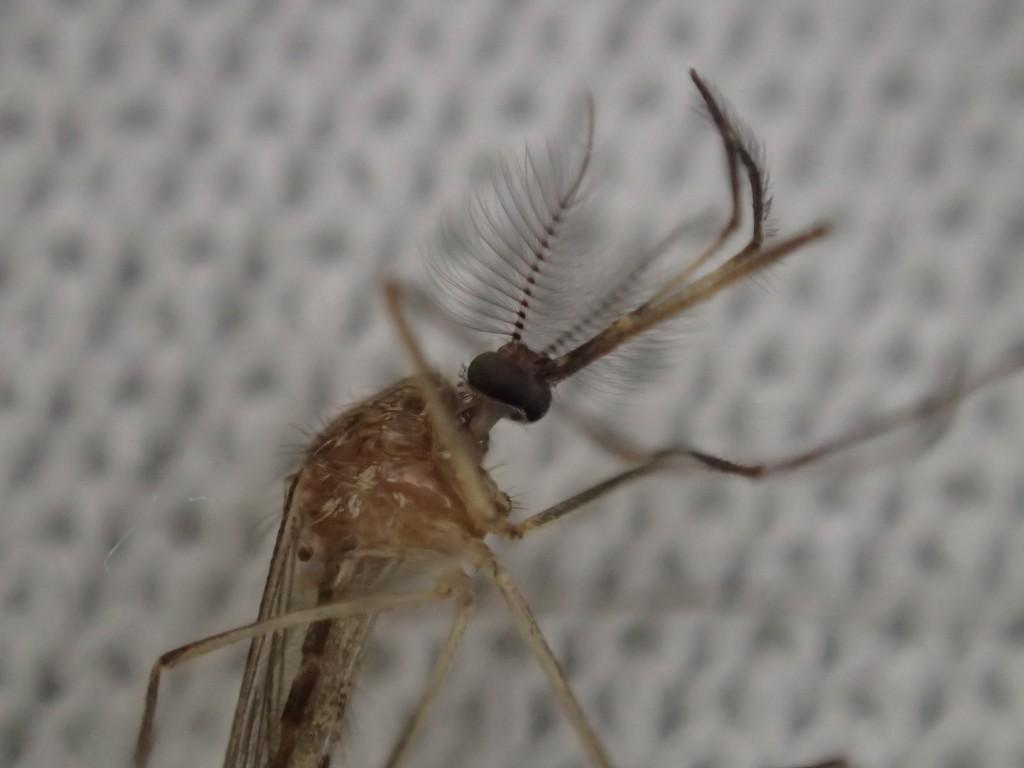 冷凍庫の寒さで動かなくなった蚊