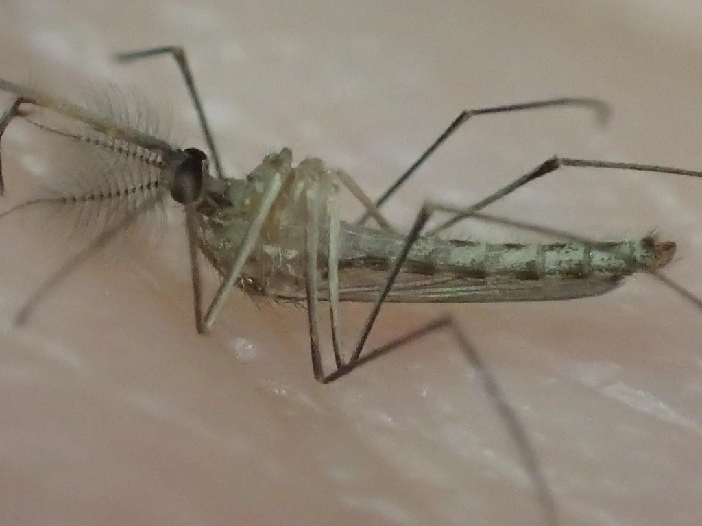 温めると少しずつ動き出した蚊
