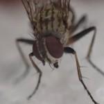 """悪夢の始まり(ll゚Д゚)!?卵じゃなく幼虫のウジ虫を産み付ける害虫の蝿""""センチニクバエ""""を捕獲"""