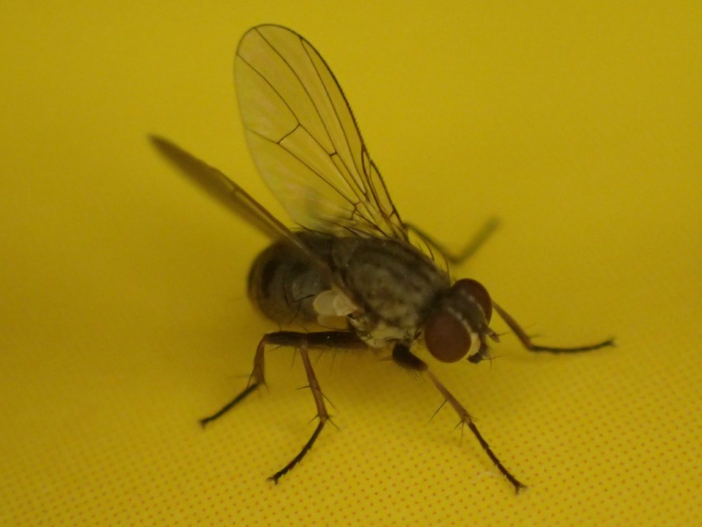 幼齢の害虫センチニクバエ(蝿)