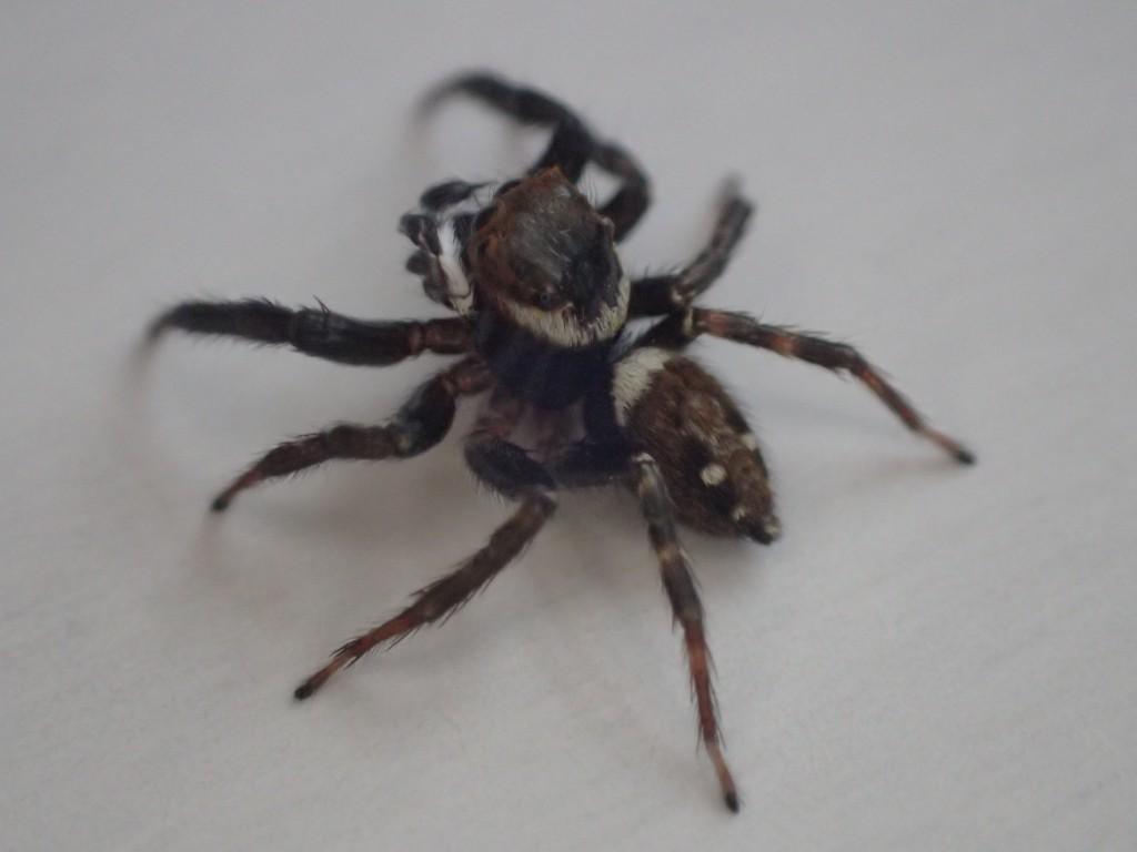ハエトリグモの1種、アダンソンハエトリ(Hasarius adansoni )