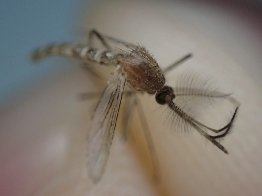 捕獲した害虫の蚊(カ)の写真、画像素材(フリーフォト)