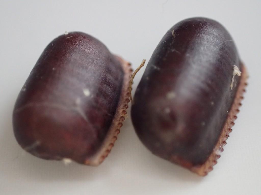 衛生害虫ワモンゴキブリが産んだ黒光りする卵(卵鞘:らんしょう)