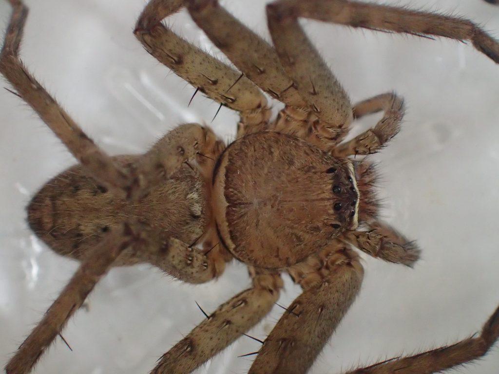 ゴキブリの天敵の蜘蛛アシダカグモ(通称:軍曹)