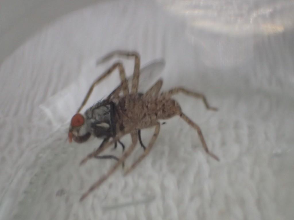 センチニクバエをガッシリと牙で噛み付いて離さないアシダカグモ