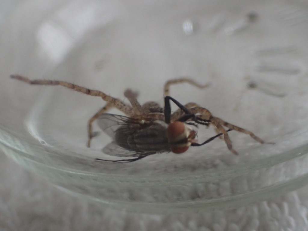 センチニクバエが息絶えるまでジッと掴んで離さないアシダカグモ