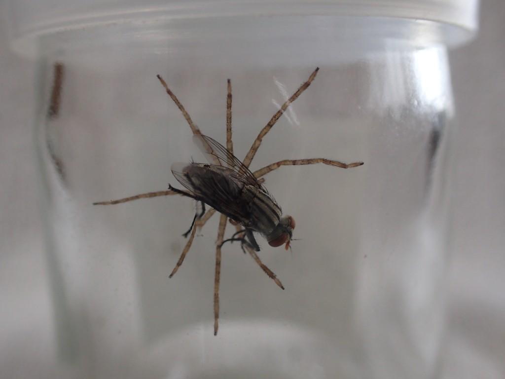 衛生害虫センチニクバエを捕まえて離さないアシダカグモ