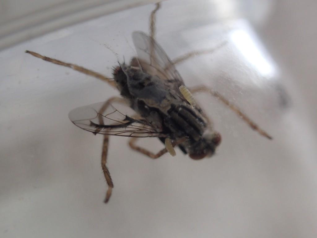 アシダカグモに捕まったセンチニクバエが幼虫(ウジ虫)を産んだ