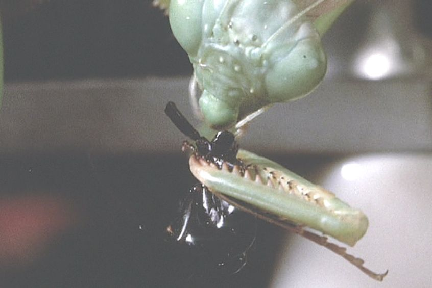 天敵であるはずのカマキリがアリを捉えて捕食するが・・・