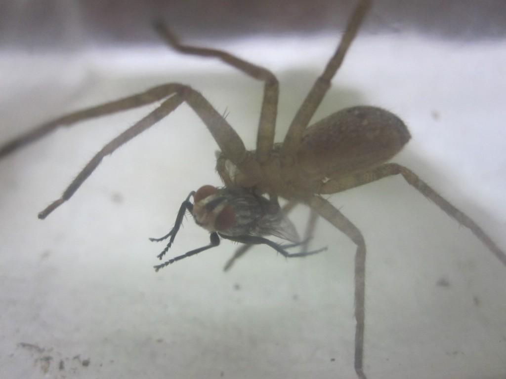 鋭い牙でセンチニクバエ(肉蠅)に噛みつくアシダカグモ
