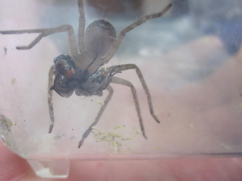 アシダカグモが突然のウジ虫登場に戸惑う貴重な瞬間!