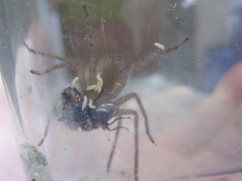 脚によじ登る蛆虫を振り払うアシダカグモ